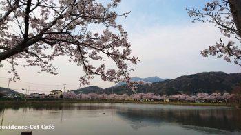 つくば北条大池の桜