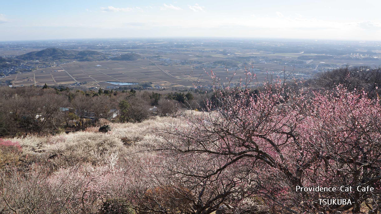 山 桜 筑波