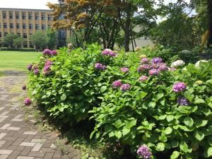 青山学院大学 相模原キャンパスのアジサイ